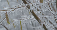 Stock Video Footage of Frozen Hazel branch with catkins (aments) in winter