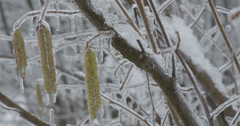 Icy hazel branch with catkins Stock Footage