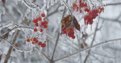Viburnum opulus cluster of red berries in ice Stock Footage