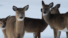 Deer in winter standing still, looking at camera Stock Footage