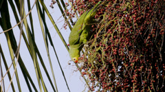 Yellow Cheeked Amazon Parrot Eating Palm Fruits Stock Footage