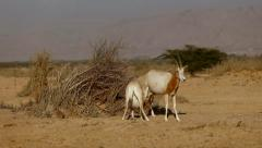A young Oryx  with his mother Stock Footage