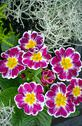 Stock Photo of purple and yellow primroses