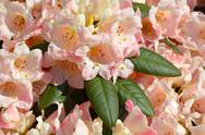 Stock Photo of pink rhododendron bush