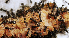 Black Ants Eating Meat Seen On Macro Stock Footage