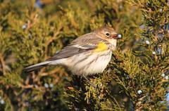 yellow-rumped warbler (dendroica coronata) - stock photo