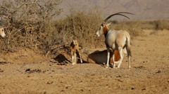 Stock Video Footage of Group of oryx