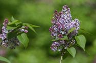 Stock Photo of lilacs