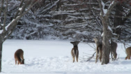Stock Video Footage of Herd of deer looking for food in winter