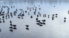 Ducks on an icy lake Stock Footage