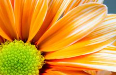 Dyed daisy flower white orange petals green carpels close up Stock Photos