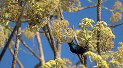 Purple sunbird searching food Stock Footage