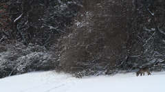 Deer in woods in winter Stock Footage