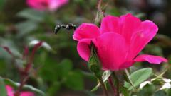 Great Black Wasp On Pink Flower Stock Footage
