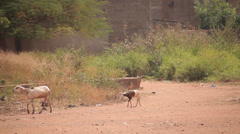 Goats Passing by Stock Footage