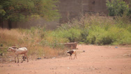 Stock Video Footage of Goats Passing by