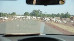 Cows Crossing Road - stock footage