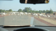 Stock Video Footage of Cows Crossing Road