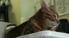 Bengal cat suprised then sleepy Stock Footage