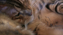 Bengal cats dozing together zoom out Stock Footage