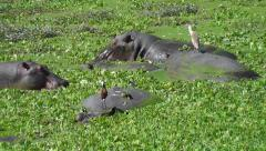 Hippos eating Nile cabbage with a Squacco Heron and African Jacana on the back Stock Footage