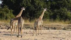 Thornicroft giraffes Stock Footage