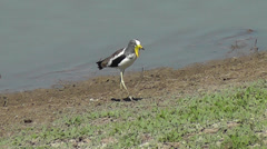 White-crowned Lapwing looking for food along the bank of the river Stock Footage