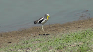 Stock Video Footage of White-crowned Lapwing