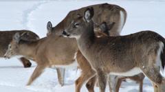 Winter, deer herd looking for food in the snow Stock Footage