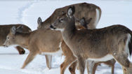 Stock Video Footage of Deer herd looking for food in the snow