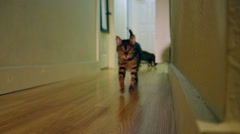 A bengal cat walks down hallway to the camera and then dashes off to the left Stock Footage