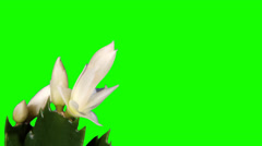 Epiphytic cactus. White schlumbergera flower buds green screen Stock Footage