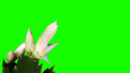 Stock Video Footage of Epiphytic cactus. White schlumbergera flower buds green screen