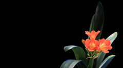 Stock Video Footage of Growth of Clivia flower buds ALPHA matte