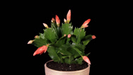 Stock Video Footage of Epiphytic cactus. Red schlumbergera flower buds ALPHA matte