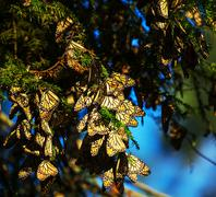 Stock Photo of monarch butterfly colony in mexico