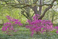 Oaks and azaleas Stock Photos