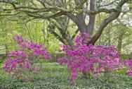 Stock Photo of oaks and azaleas