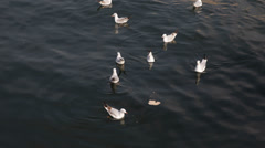 Seagulls Feeding Feed Hungry Eating Eat Piece Bread Water Moving Flying Swimming Stock Footage