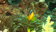 Stock Video Footage of 2 banded Clownfish, Egypt Red Sea Close