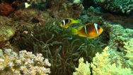 Stock Video Footage of 2 banded Clownfish, Egypt Red Sea Wide