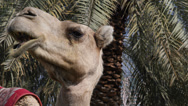 Stock Video Footage of Beautiful Portrait Close Up Arabian Camel Head Headshot Side View Middle East