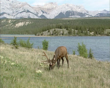 Wapiti, Cervus canadensis, stag grazing in valley, lakeside, Jasper NP Stock Footage