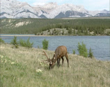 Stock Video Footage of Wapiti, Cervus canadensis, stag grazing in valley, lakeside, Jasper NP
