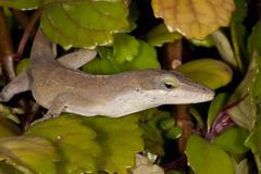 Green Anole Lizard - stock photo