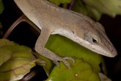 Green Anole Lizard Stock Photos
