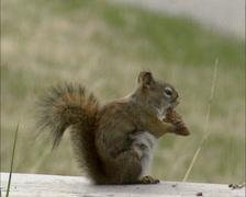 American Red Squirrel, Tamiasciurus hudsonicus, eating a pine cone Stock Footage