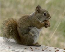 American Red Squirrel, Tamiasciurus hudsonicus, eating a pine cone - close up Stock Footage