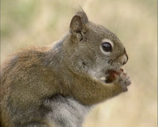 American Red Squirrel finishes pine cone meal and jumps off Stock Footage