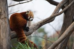 red panda sitting on a branch - stock photo